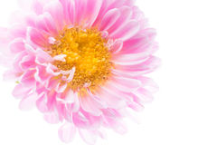 Pink flowers close-up macro photo Stock Photography