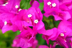 Pink flowers. Royalty Free Stock Photography