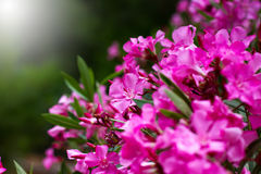 Pink flowers close-up, nature background Stock Photos