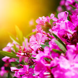 Pink flowers close-up, nature background Stock Image