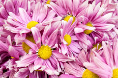 Pink flowers closeup Royalty Free Stock Photos