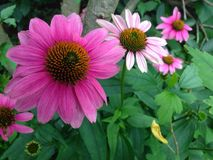 Pink flowers Stock Photos