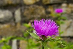 Pink flowers closeup on blurred background. Burdock thorny flowers stock image