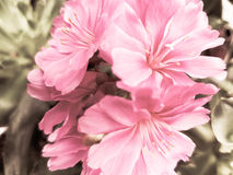 Pink flowers. Closeup of pink flowers in pastel Royalty Free Stock Photo