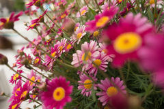 Pink flowers on cloudy day. Pink growing flowers with yellow center on  depth of field Stock Images