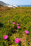 Pink flowers at the coastline Stock Images