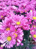 Pink  flowers  colorful  fresh  background Stock Images