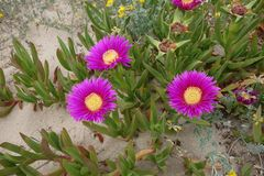Pink flowers. Colourful flowers on the beach Stock Photo