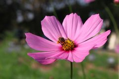Pink flowers cosmos royalty free stock photography
