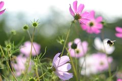 Pink flowers cosmos bloom in morning light. Soft focus. Field of cosmos flower in sunshine royalty free stock image