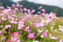 Pink flowers cosmos bloom Royalty Free Stock Photos