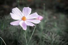Pink flowers cosmos royalty free stock photo