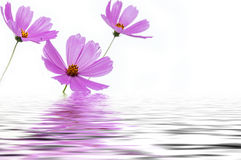 Pink flowers cosmos water reflection Stock Photography