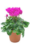 Pink flowers cyclamen. In the pot isolated on a white background Royalty Free Stock Images