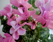 Pink flowers cyclamen. Pink flowers bloom Stock Image