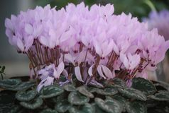 Pink flowers of Cyclamen persicum. Cyclamen persicum, the Persian cyclamen, is a species of flowering herbaceous perennial plant growing from a tuber, native to Royalty Free Stock Photography