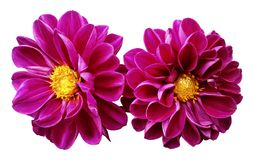 Pink flowers dahlias on white isolated background with clipping path.  No shadows. Closeup. Nature Stock Photography