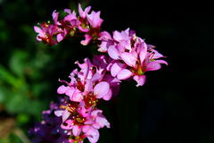 Pink flowers on dark background Stock Photography