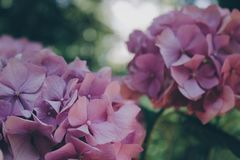 Pink Flowers during Daytime Royalty Free Stock Photography
