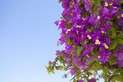 Pink flowers. Deep pink bougainvilleas, an ornamental plant found in hot countries around the mediterranean royalty free stock images
