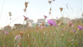 Pink flowers in desert area stock video footage