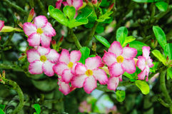 Pink flowers desert rose or impala lily Royalty Free Stock Image