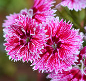 Pink Flowers Dianthus Stock Images