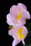 Pink flowers of a dog-rose royalty free stock images