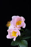 Pink flowers of a dog-rose royalty free stock photos