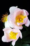 Pink flowers of a dog-rose royalty free stock photo