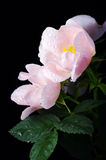 Pink flowers of a dog-rose stock photography