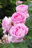 Pink flowers dogrose closeup Royalty Free Stock Photos