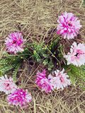 Pink flowers with the dry straw bales stock images