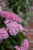 Pink flowers on an Egyptian starcluster Pentas lanceolata Royalty Free Stock Images
