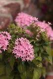 Pink flowers on an Egyptian starcluster Pentas lanceolata Royalty Free Stock Photos