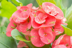 Pink flowers, Euphorbia, Crown of thorns, Christ Thorn. Stock Photos