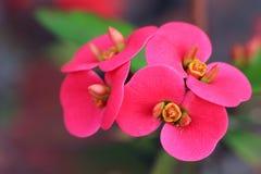Pink flowers of Euphorbia Milii Stock Photos