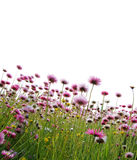 Pink flowers in a field Stock Photography