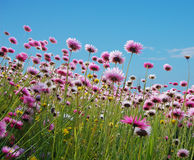 Pink flowers in a field Stock Photo