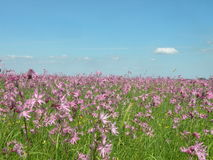 Pink flowers field Royalty Free Stock Images