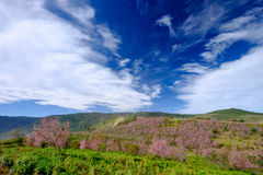 Pink Flowers Field in Mountain with Blue Sky at Thailand. Pink Flowers Field in Mountain with Blue Sky Stock Images