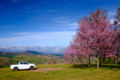 Pink Flowers Field in Mountain with Blue Sky at Thailand. White Car on Pink Flowers Field in Mountain with Blue Sky at Thailand Stock Photo