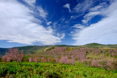 Pink Flowers Field in Mountain with Blue Sky at Thailand. Pink Flowers Field in Mountain with Blue Sky and white Cloud Stock Images