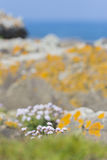 Pink flowers in the field. Near rocks with blue ocean on the background Stock Images