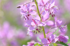 Pink flowers of fireweed (Epilobium or Chamerion angustifolium) in bloom ivan tea. Background Stock Image