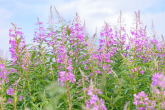 Pink flowers of fireweed (Epilobium or Chamerion angustifolium) in bloom ivan tea Stock Photos