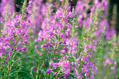 Pink flowers of fireweed & x28;Epilobium or Chamerion angustifolium& x29; in bloom ivan tea Royalty Free Stock Photo