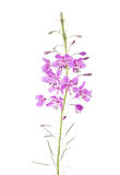 Pink flowers of fireweed isolated on white background. Chamaenerion angustifolium Stock Image