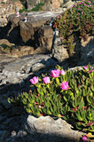 Pink Flowers and Fishermen on Ocean Cliffs Stock Images