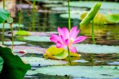 Pink flowers and flat lily pad at Corroboree Billabong, NT, Australia. Sacred lotus with large pink flowers and flat lily pads shaped leaves line the banks at royalty free stock image